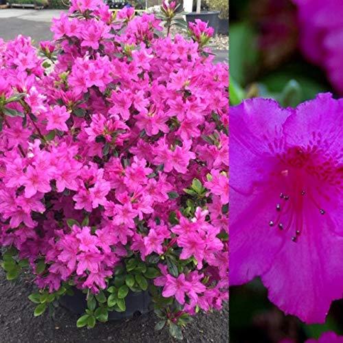 2 x Azalea Purple Splendor - Japanese Azalea - Evergreen Plants Arrive in 9cm Pots