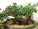 Chinesische Weißdorn 10 Samen Crataegus pinnatifida...