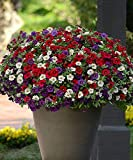 Rare Citronella Mosquito Plant Pelargonium 'citrosum', Prince of Orange Geranium, Hardy Perennial Flower Seeds for Gardening Flowers 100pcs