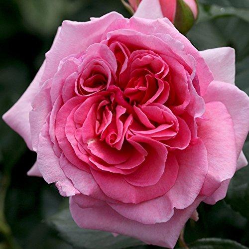 """Kletterrose """"Kölle's Rosenpoesie®"""" - rosa blühende, duftende Topfrose im 6 L Topf - frisch aus der Gärtnerei - Pflanzen-Kölle Gartenrose"""