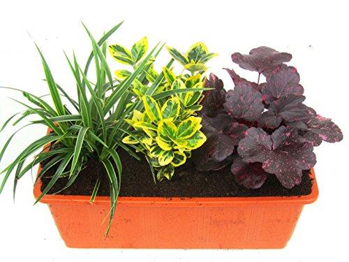 Immergrünes Balkonpflanzen-Set 3 winterharte Pflanzen für 40-50 cm Balkonkästen