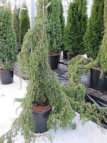 Juniperus communis Horstmann - Gemeiner Wacholder Horstmann