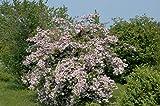 Perlmuttstrauch Kolkwitzia amabilis im Topf gewachsen ca. 60-100cm