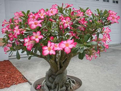 Subaya Live Plant - 3 ADENIUM OBESUM Rare Caudex Collection Exotic Bonsai Desert Rose Plant 2' Pot