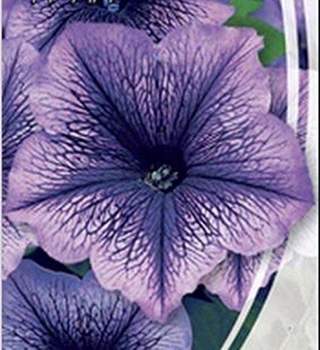 graines de Petunia nain  Daddy rouge F1 Petunia × hybrida 10 graines