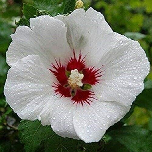 20 Stück Weiß Rot Hibiskus Samen...