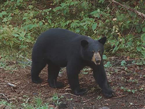 Boundary Waters Bears