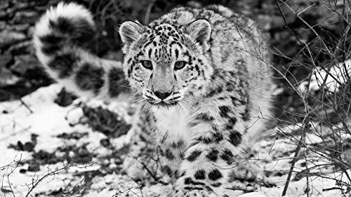 Rompecabezas Puzzle 1000 Piezas Leopardo De Las Nieves, Blanco Y Negro Juguetes Educativos Para Niños