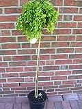Korkenzieher-Akazie, Robinia pseudoacacia Twisty Baby, Höhe: 110-120 cm inkl. Topf + Dünger