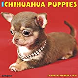 JUST CHIHUAHUA PUPPIES 2020 WA