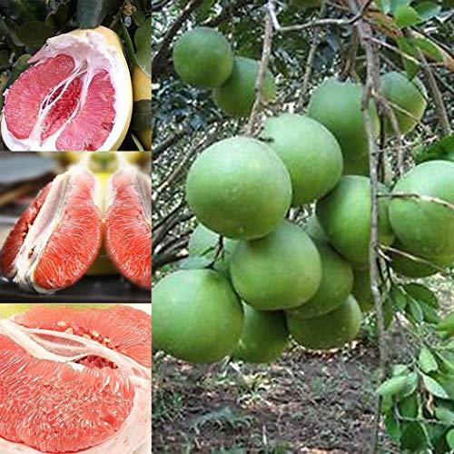 Keland Garten - 20 Stück Pampelmuse Samen rotes Fruchtfleisch duftend, Citrus medica ´Maxima` Obstsamen Exotic Samen winterhart