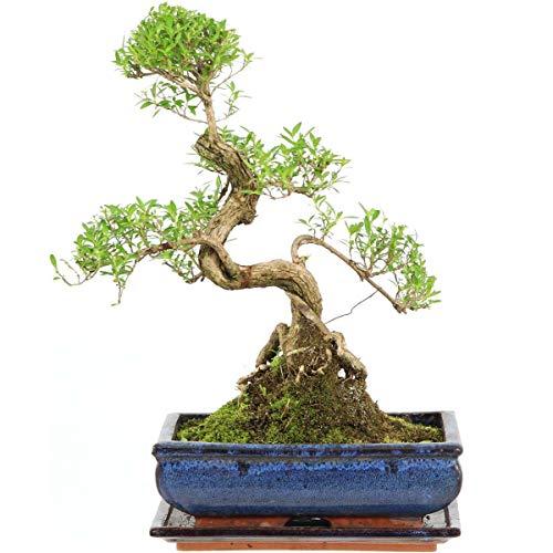 Junischnee, Bonsai, 11 Jahre, 40cm