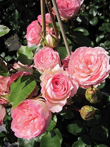 Kletterrose Mini Eden Rose® - Rosa Mini Eden Rose® - zartrosa - Duft+ - Meilland-Rose