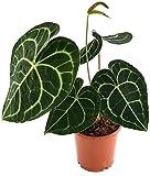 Anthurium clarinervium - exotische Herzblattblume - ideal für den halbschattigen Standort - sehr schöne Zimmerpflanze
