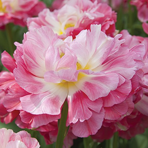 Tulip Double Sugar Bulbs Hardy Highly Scented Extra Large Garden Flowers Bright Pink, 10 x Tulip Double Sugar Bulbs by Thompson and Morgan