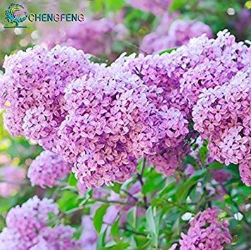 Vistaric 2015 Hot Sale graines fleur lilas lilas love off Long studs riche jardin floral plantation 20