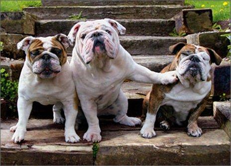 Bulldog Pushing Bulldog Funny Dog Birthday from Group Card