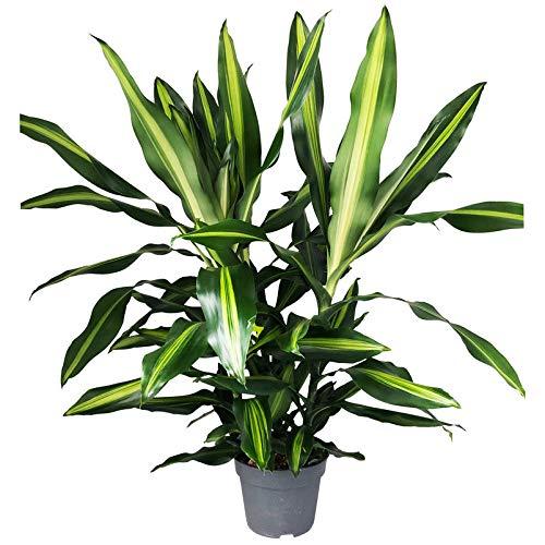 Pflanzen Kölle 3er-Tuff Drachenbaum, Dracaena fragrans 'Cintho', Höhe ca. 45 cm