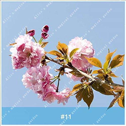 ZLKING 20pcs/pack japonais Sakura Fleurs Bonsaï Graines Cerasus yedoensis fleurs de cerisier facile de cultiver des plantes de fleurs exotiques 11