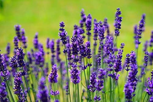 Lavender - French - 100 Seeds