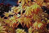 Piante di Acero Rosso Giapponese'Acer Palmatum Orange Dream' in vaso ø20 cm