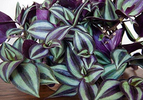 Best Indoor Water Plants -WANDERING JEW PLANT