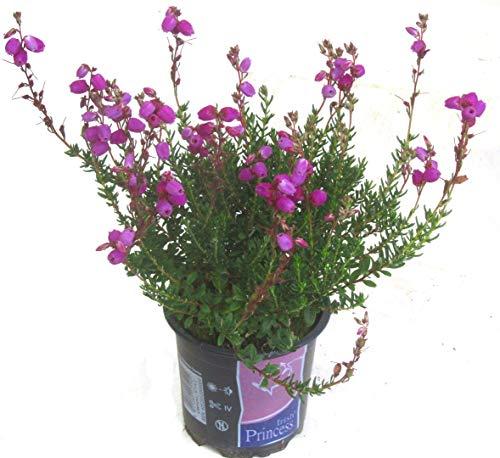 Daboecia cantabrica - irische Glocken-Heide winterhart, immergrün lila blühend kleiner Strauch 11 cm Topf