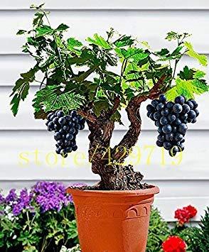 VISTARIC 200pcs / bag seltene rote Banane Samen Bonsai Obst & Gemüse Samen keine GMO Topfpflanze für Heim & Garten