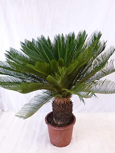 [Palmenlager] - Cycas revoluta - 120 cm - Stamm 30/40 cm - Sagopalme/Palmfarn