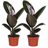 Plantes d'intérieur de Botanicly – 2 × Hévéa – Hauteur: 30 cm – Ficus Elastica Robusta