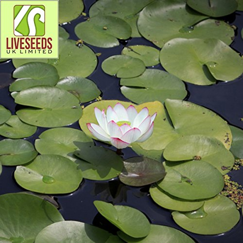 Liveseeds - Mini Rose Morning Bonsai Lotus/Water Lily Flower/5 graines fraîches