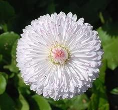 Daisy- Dwarf White English- 50 Seeds