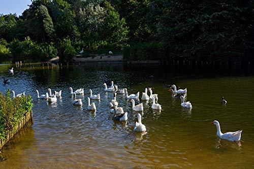 Lsping legpuzzels volwassenen 1000 stukjes Ganzen-Vogels-Nederland-Vijver-Beverwijk 50x70cm