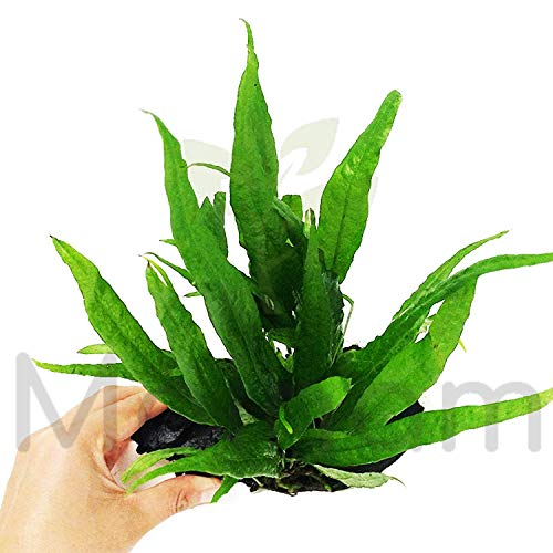 Mainam Java Fern Planted on Driftwood Microsorum Pteropus Freshwater Easy Low Light Live Aquarium Plant Decorations 3 Days Guarantee