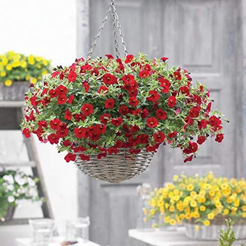 Pflanzen Kölle Zauberglöckchen, rot, 6er-Set, Topf 12 cm Ø