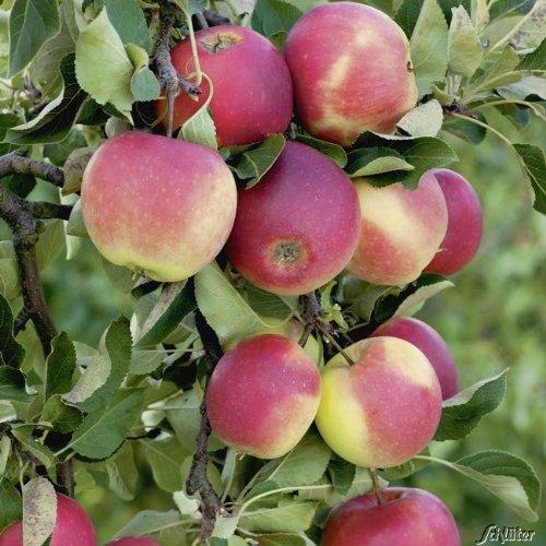 Apfel James Grieve - Malus - Winterhart - Fruchtreife August - Liefergröße circa 120cm als Containerpflanze