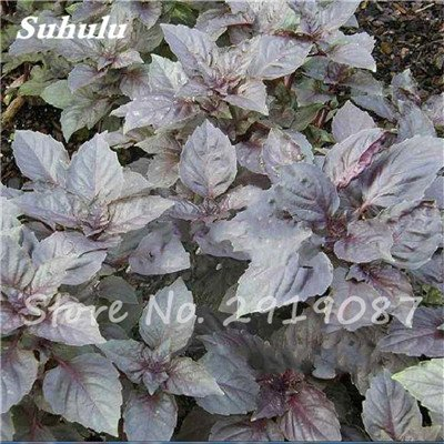 200 pièces rares Violet basilic Graines Bonsai Plante aromatique douce Ocimum basilicum Légumes Aromatique Graines Bonsai Pour la maison Cuisine 5
