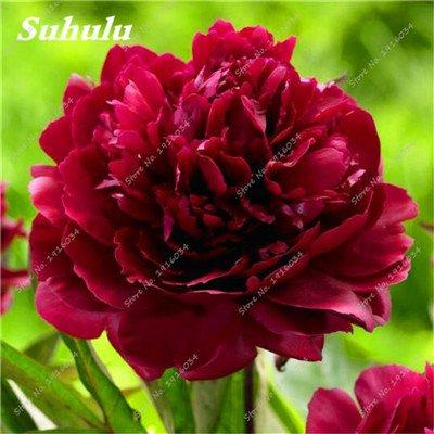 100 pièces/sac Couleur Rare Rose Graines Outdoor Bonsai Graines de fleurs vivaces Fleurs Graines Plante en pot pour jardin Décor 14