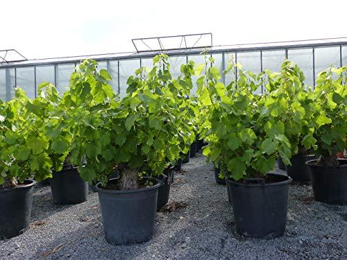 Vitis Vinifera, Weinstock, knorrige Weinrebe, Weintraube, blaue Trauben, Wein