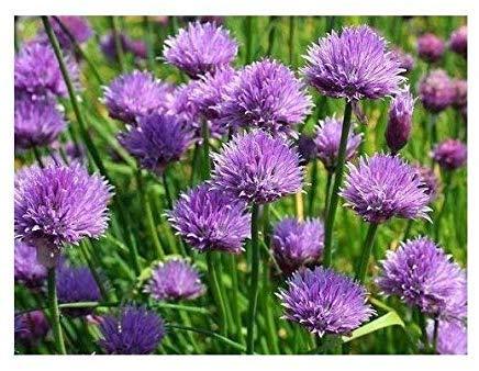 Schnittknoblauch - Schnittlauch - Knoblauch - Allium schoenoprasum - 1000 Samen
