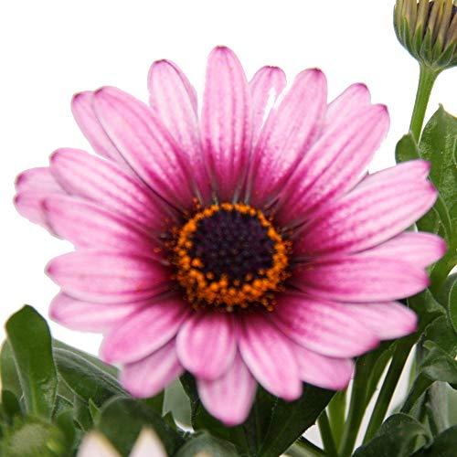 Kapkörbchen - Osteospermum ecklonis - 11cm Topf - Set mit 3 Pflanzen - rosa