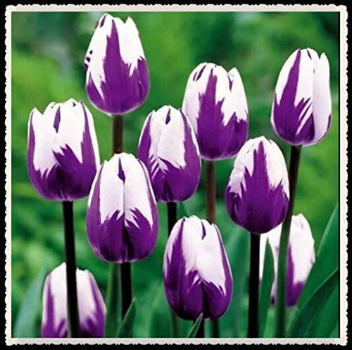 Tulipani bulbi-Bulbi da fiore, tulipani precoci a fiore semplice dall'Olanda -- Qualità superiore olandese-10 Bulbi,Viola