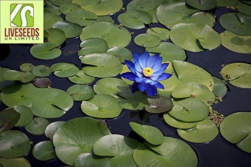 Liveseeds - Mini Saphir Bonsai Lotus / Wasser Lily Blume / 5 frische Samen