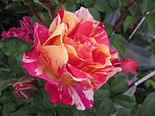 SANHOC Samen-Paket: MAUR UTRILLO - Bareroot Hybrid Garden Rose - Wonderful Duftende, Rot/Orange/Gelb gestreifte Blten, Groß Gesundheit und PerformanceSEED