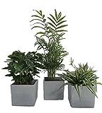 Zimmerpflanzen Luftrein Mix, grün