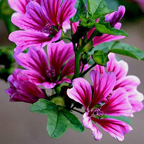 Malva Belle Seeds 30 + Marsh Mallow Kräutersamen Violet Stripes Hollyhock Flower Hochwertige Samen für den Hausgarten Outdoor Yard Farm Planting