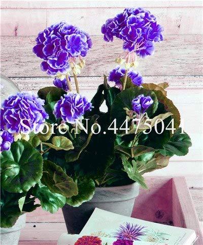 Bloom Green Co. 50 PC/Los Seltene lila Geranie, Pelargonium Peltatum Geranium Bonsai Perennial Seltene Blumen-Pflanzen für Innenräume Bonsai: 7