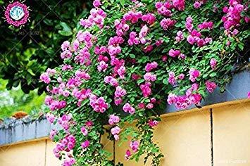 50 pcs escalade graines Rose Rouge japonaise. Rare graines Rose sementes. mur d'escalade de jardin vivace floral plante ornementale 3