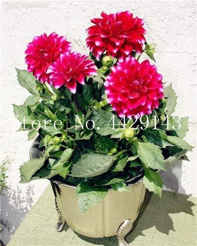 prime vista 100 Teile/Beutel Dahlie Bonsai Heirloom Topf Dahlie Blume, Bonsai Pflanze für Hausgarten DIY Topfpflanze: 6