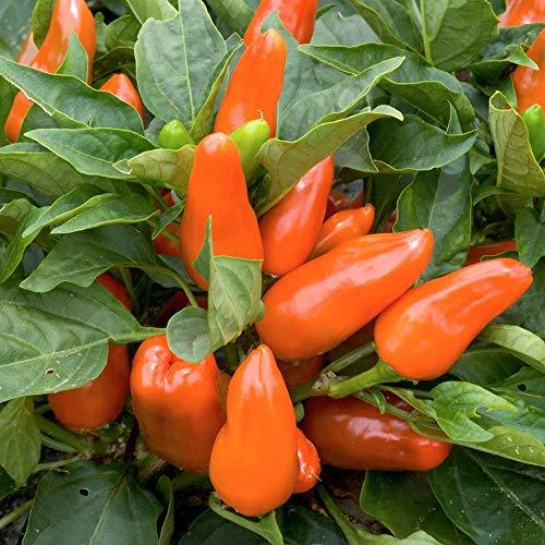 10 Samen Tangerine Dream Paprika - ertragreiche Sorte, Snackpaprika